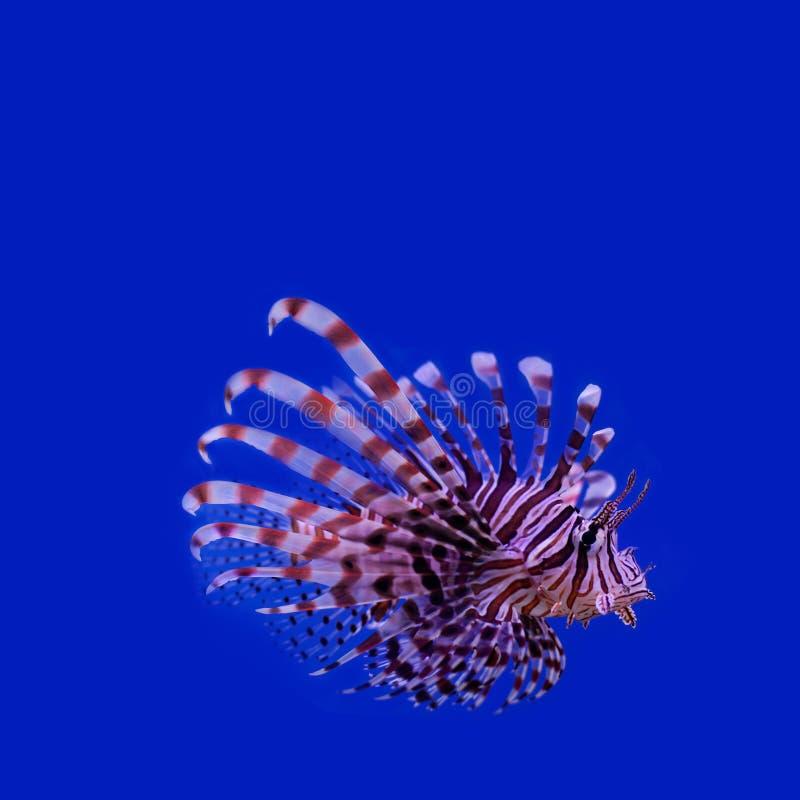 Rode Lionfish Pteroismijlen giftige oceaanvissen stock foto