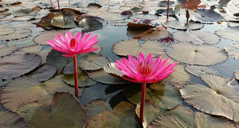 Rode Lotus Sea stock afbeeldingen
