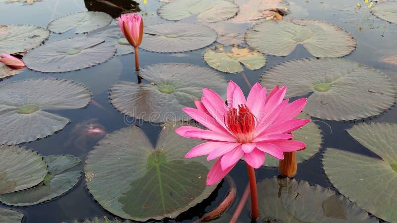 Rode Lotus Sea royalty-vrije stock foto