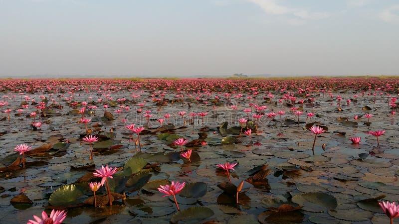 Rode Lotus Sea royalty-vrije stock afbeeldingen