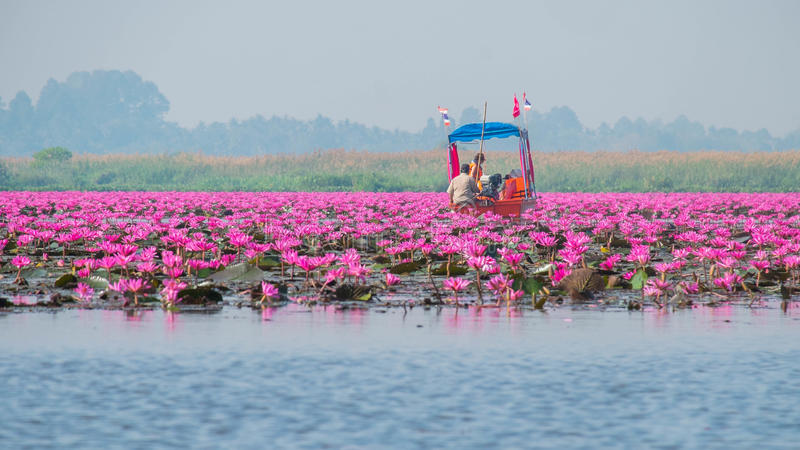 Rode lotusbloem lakeat in Udon Thani, Thailand stock afbeelding