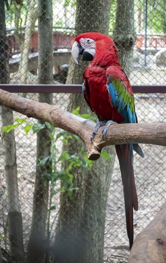 Rode macorevogel in dierentuin royalty-vrije stock fotografie