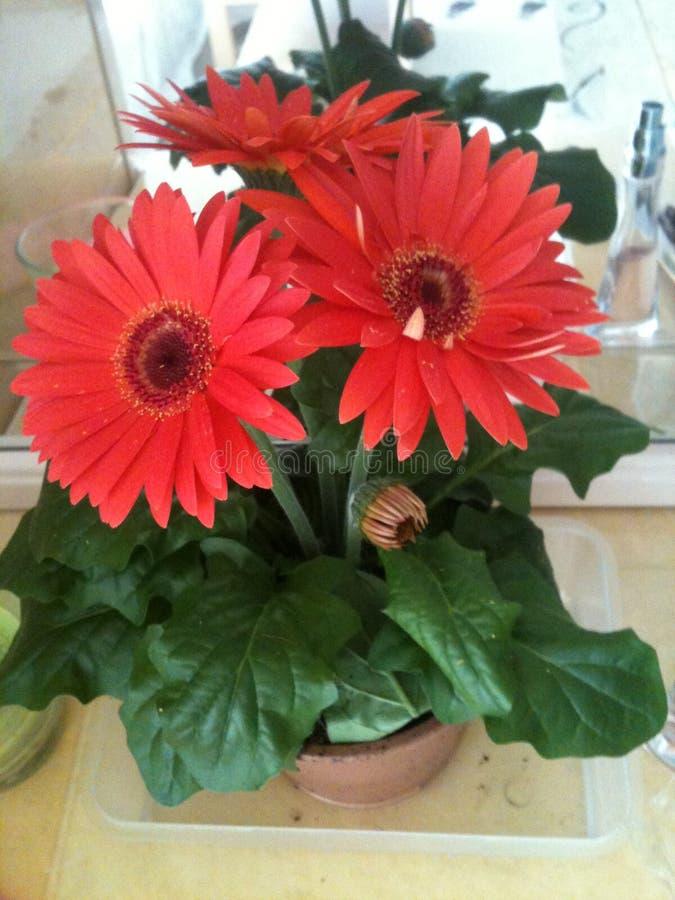 Rode madeliefjebloemen stock foto