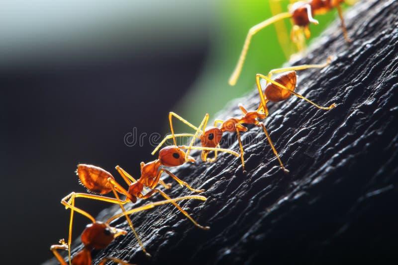 Rode mier stock fotografie