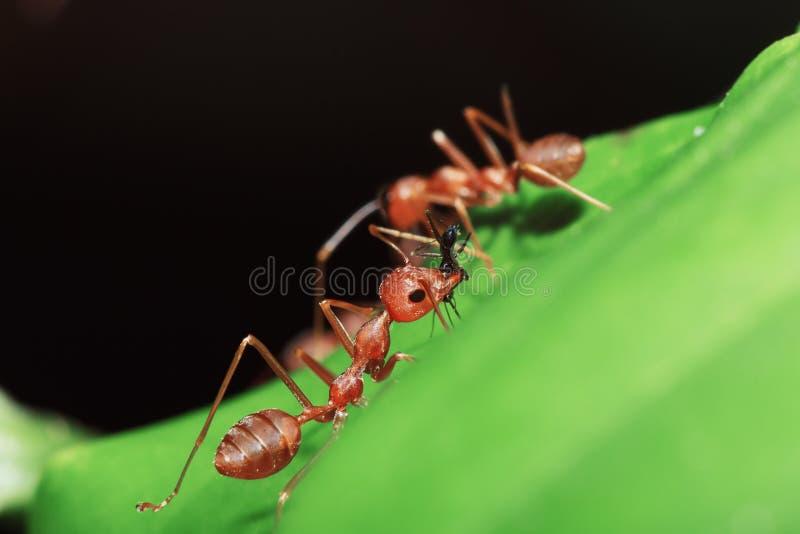 Rode mier op bladeren stock foto