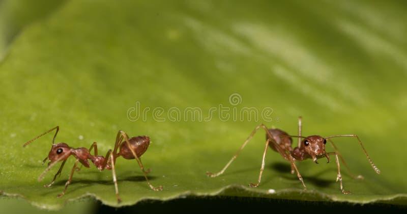 Rode mieren stock foto