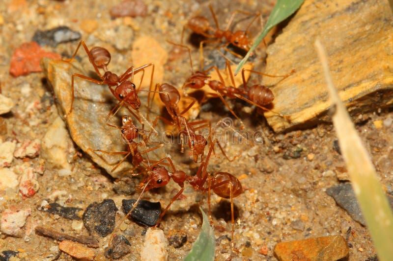 rode mierenvergadering stock afbeeldingen