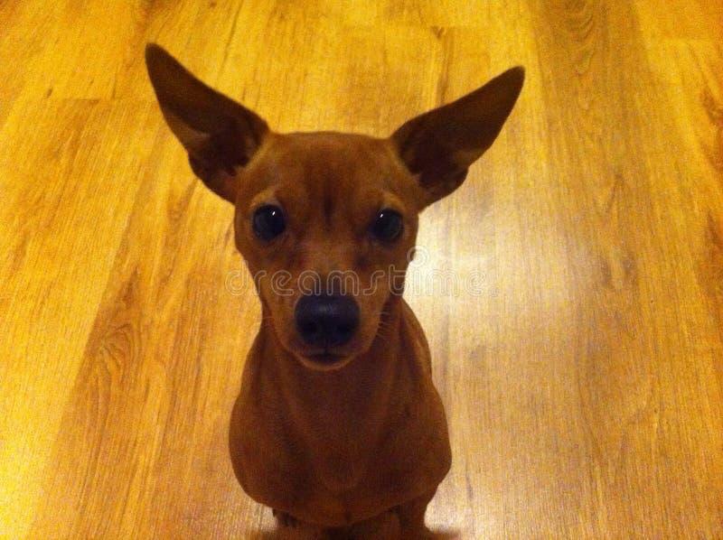 Rode Miniatuurpinscher-Hond stock afbeelding
