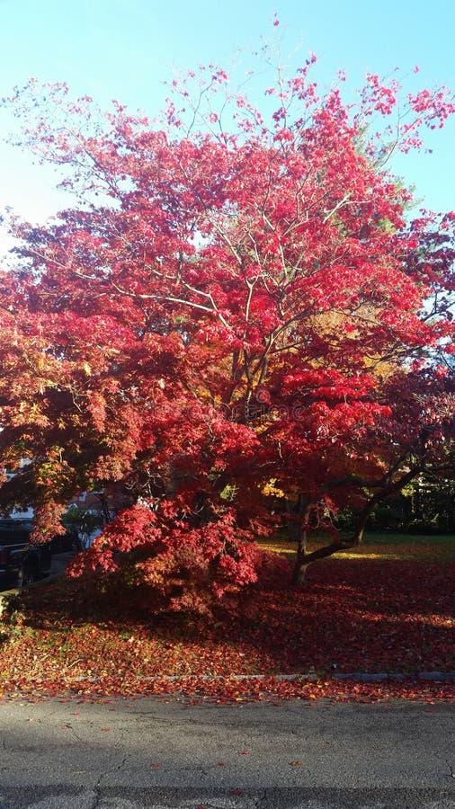 Rode mooie boom bij het dalingsseizoen stock afbeelding