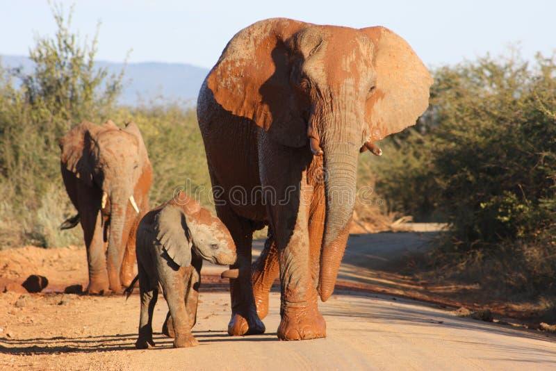 Rode olifant royalty-vrije stock foto's