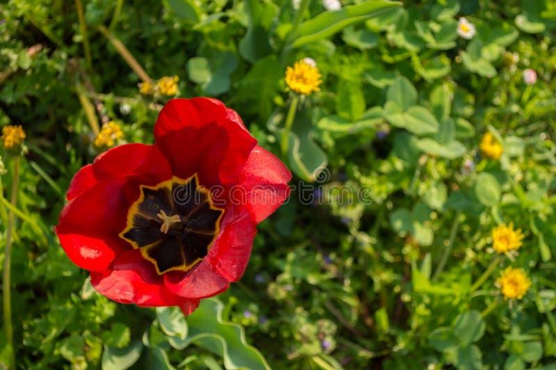 Rode open tulpenknop Hoogste mening stock afbeeldingen