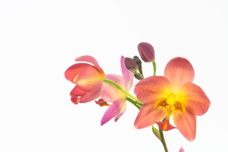 Rode oranje grondorchidee of de orchidee van Spathoglottis Plicata royalty-vrije stock foto