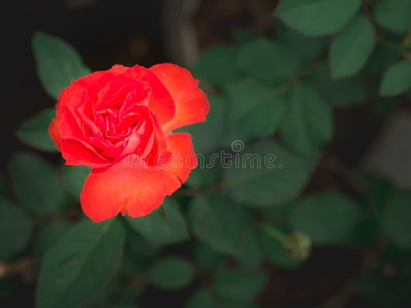 Rode Oranje Rose Flower Blooming stock fotografie