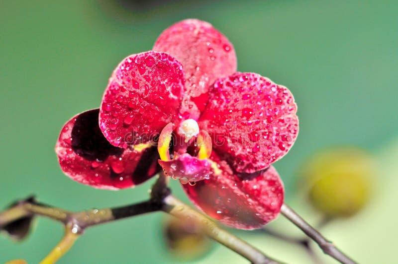 Rode Orchidee royalty-vrije stock afbeelding