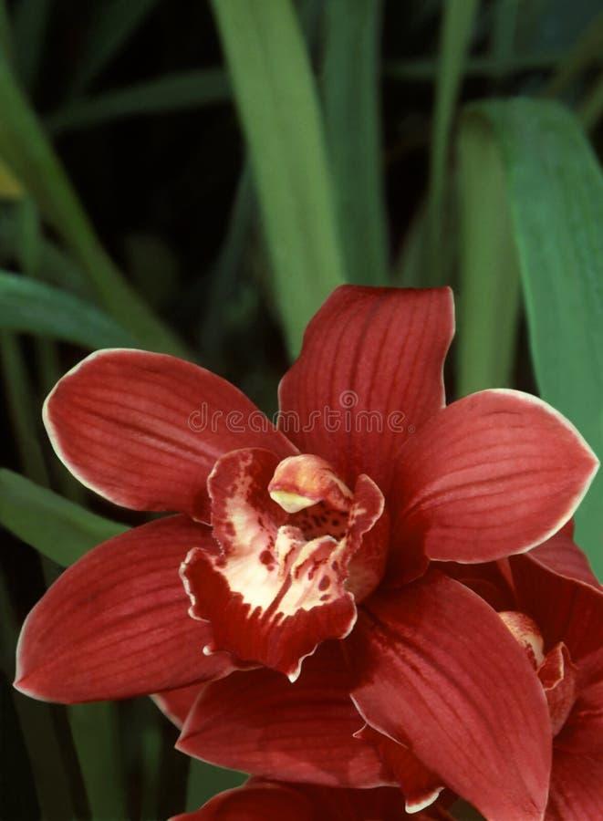 Rode Orchidee Cymbidium royalty-vrije stock fotografie