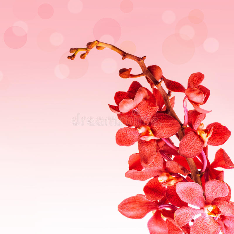 Rode orchideebloemen royalty-vrije stock afbeeldingen
