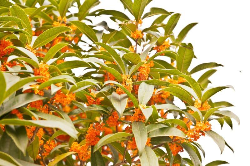 Rode osmanthusbloemen stock fotografie