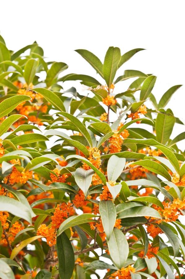 Rode osmanthusbloemen in volledige bloei royalty-vrije stock foto