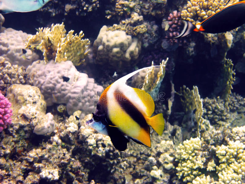 Rode overzees bannerfish stock foto's
