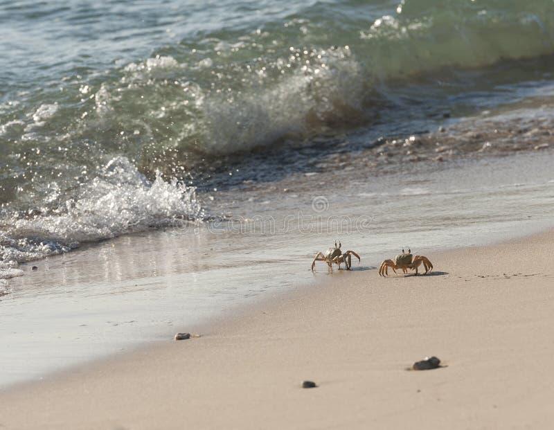 Rode Overzeese spookkrabben op het strand royalty-vrije stock afbeelding