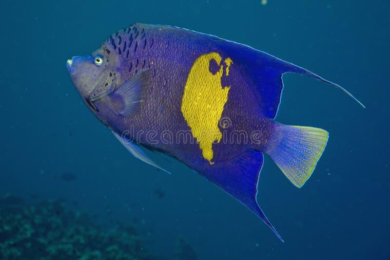 Rode Overzeese Zeeëngel (maculosus Pomacanthus) stock afbeeldingen