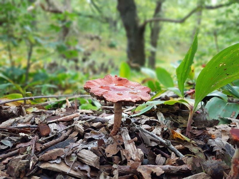 Rode paddestoel in hout royalty-vrije stock afbeeldingen