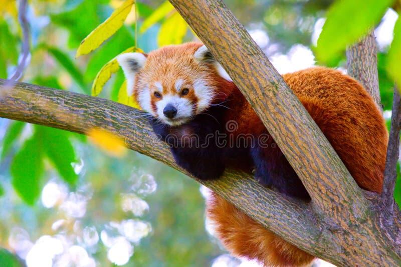 Rode Panda royalty-vrije stock foto