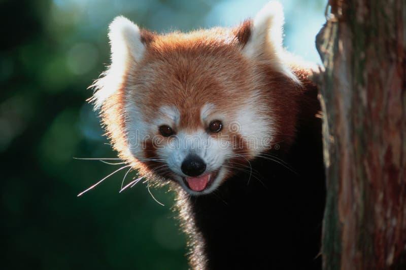 Download Rode Panda stock afbeelding. Afbeelding bestaande uit expressief - 26703
