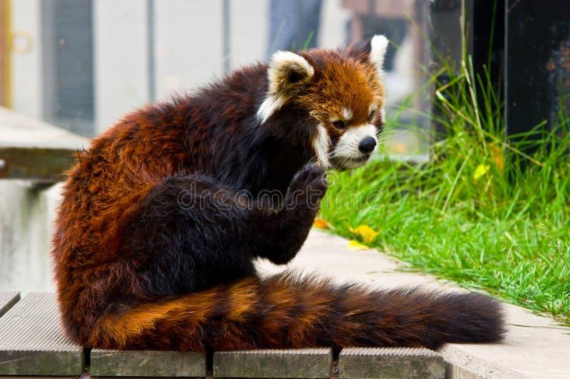 Rode panda royalty-vrije stock foto's