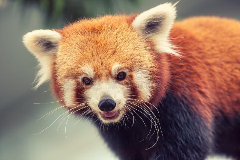 Download Rode panda stock afbeelding. Afbeelding bestaande uit soorten - 54087725