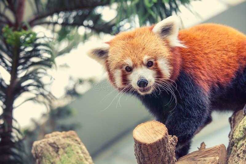 Download Rode panda stock foto. Afbeelding bestaande uit mooi - 54087730