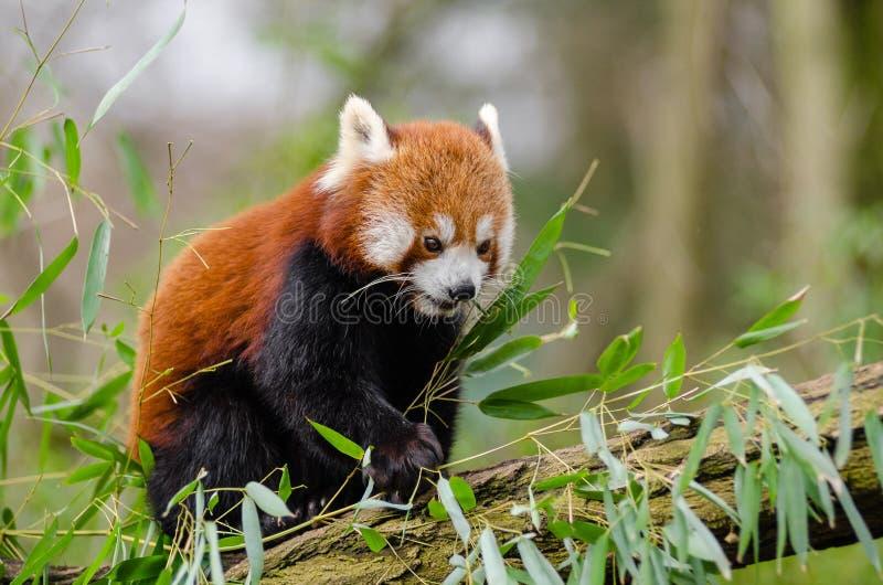 Rode Panda Gratis Openbaar Domein Cc0 Beeld