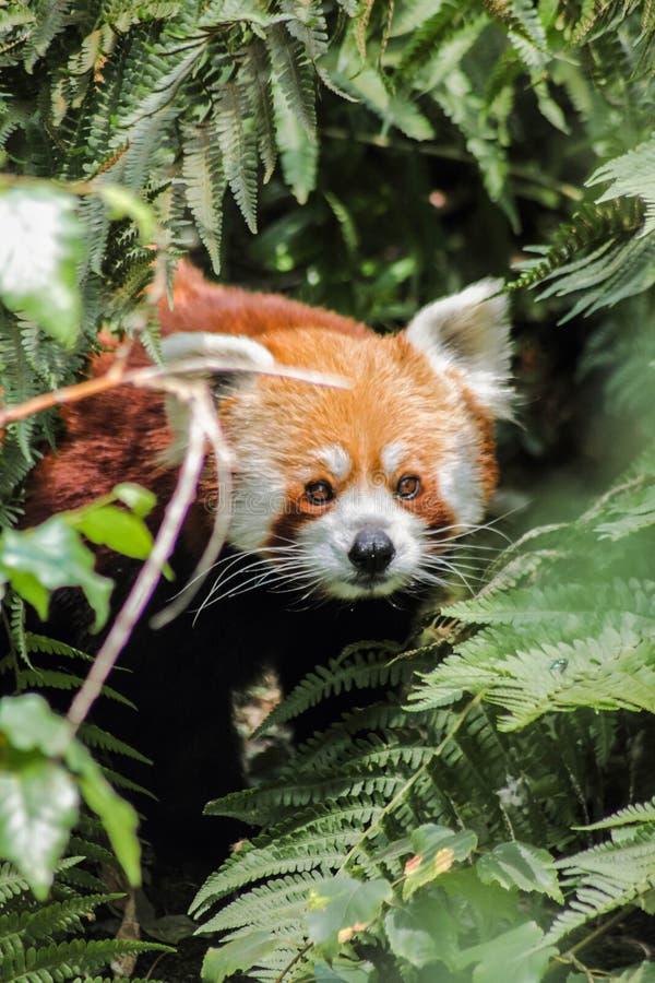 Rode panda in bos royalty-vrije stock fotografie