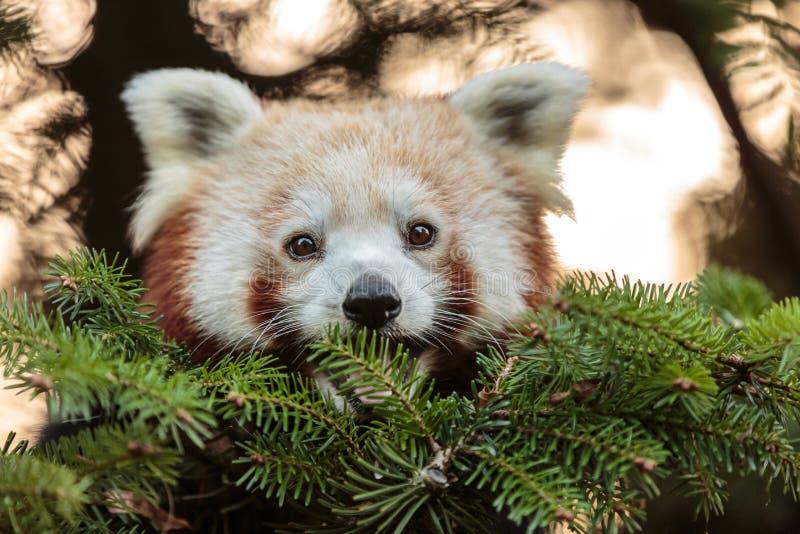 Rode panda dichte omhooggaand royalty-vrije stock afbeelding