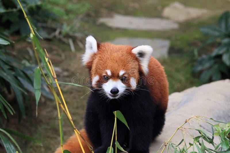 Rode panda met mooi gezicht stock afbeeldingen