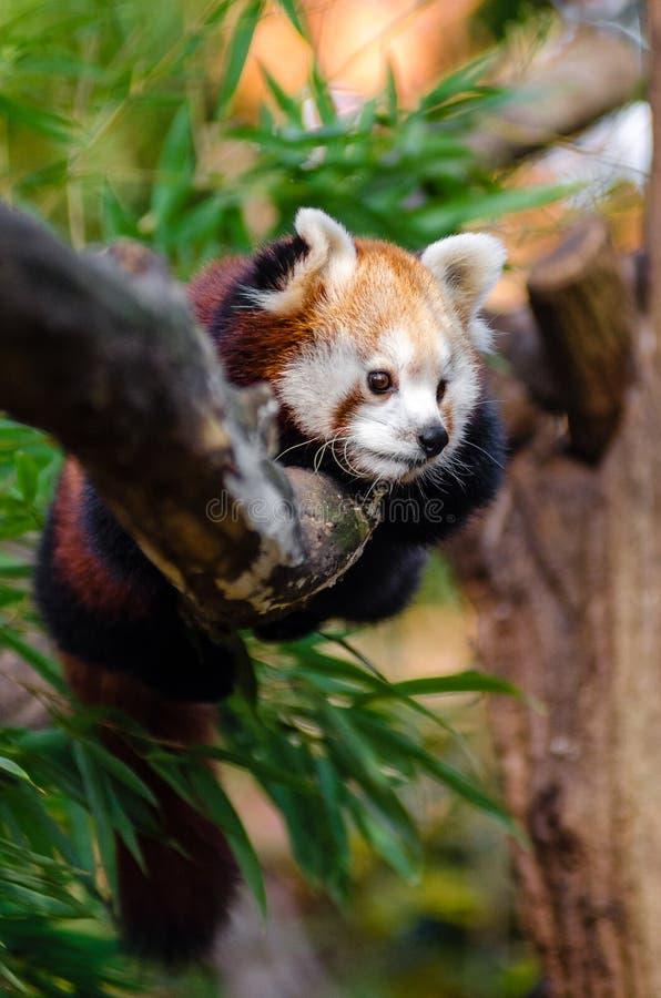 Rode Panda op Boomboomstam tijdens Dag royalty-vrije stock foto's