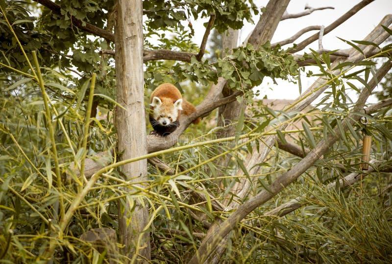 Rode panda op een boom royalty-vrije stock fotografie