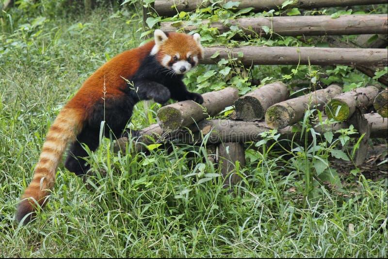 Rode Panda in Sichuan, China royalty-vrije stock afbeeldingen
