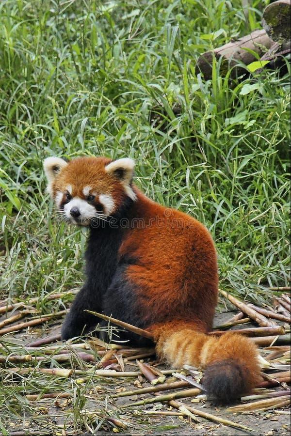 Rode Panda in Sichuan, China stock afbeelding