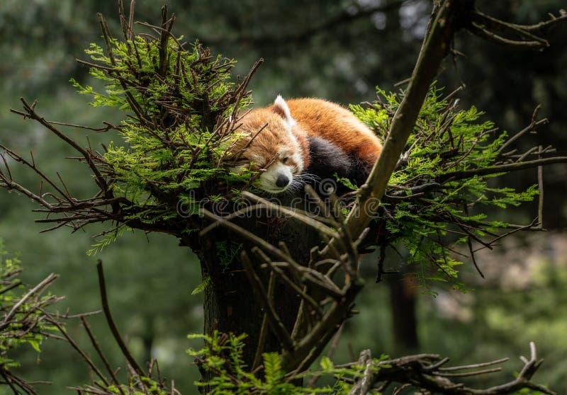 Rode Panda in slaap in boom royalty-vrije stock foto's