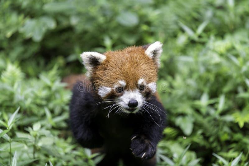 Rode pandachengdu natuurlijk China, die camera onderzoeken van onderaan, stock foto