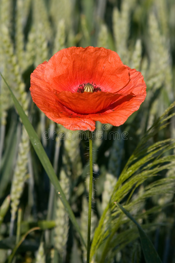 Rode papaver royalty-vrije stock foto's