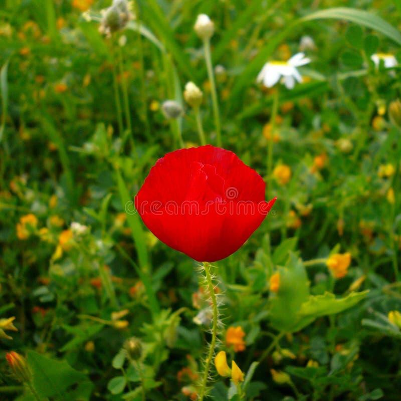 Rode papaver royalty-vrije stock afbeelding