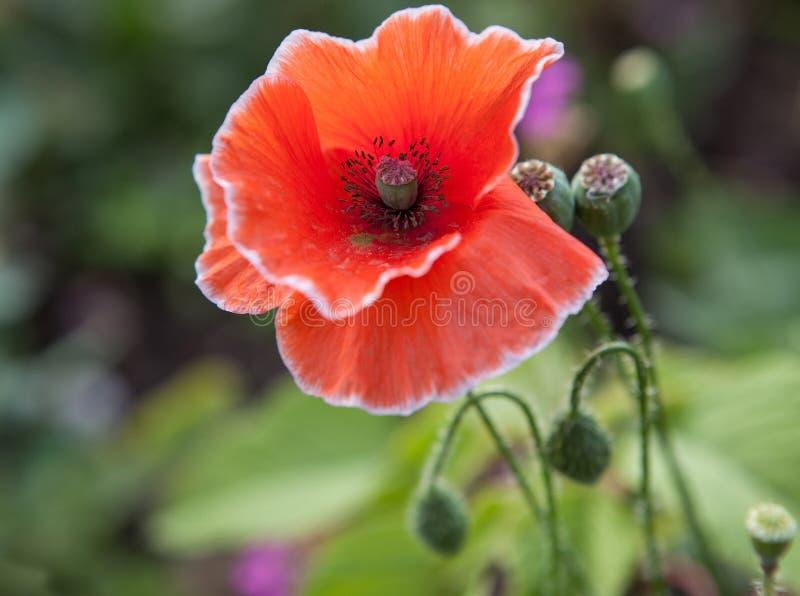 Rode papaver abstracte bloem royalty-vrije stock afbeeldingen
