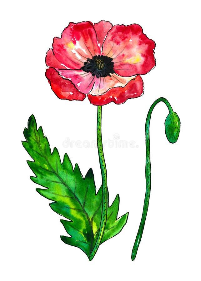Rode papaver Kleurrijke bloem en groen blad Waterverfhand getrokken die illustratie op witte achtergrond wordt ge?soleerd royalty-vrije illustratie