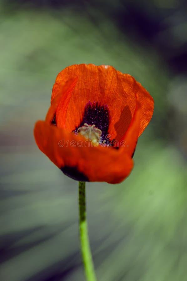 Rode papaverbloei stock fotografie