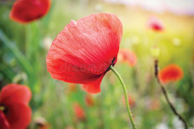 Rode papaverbloem royalty-vrije stock fotografie