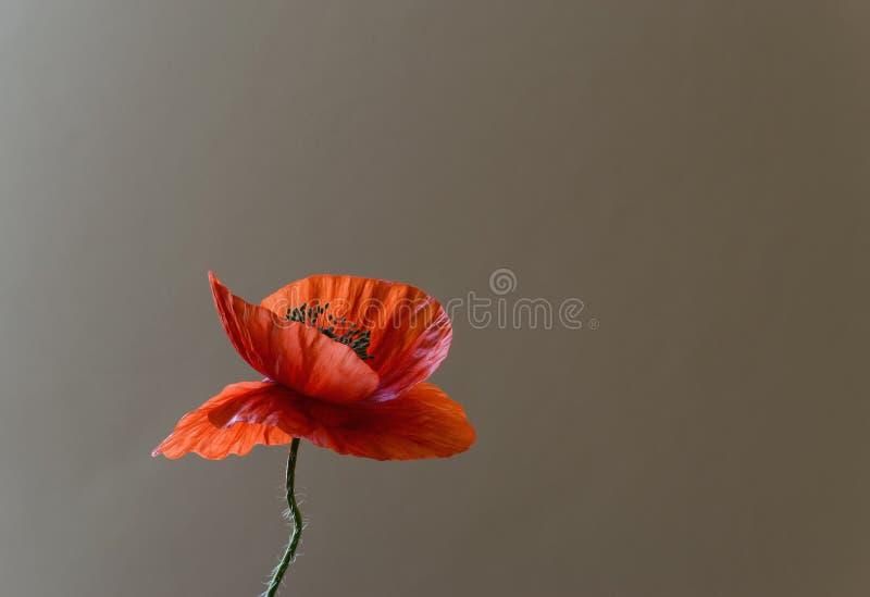 Rode papaverbloem royalty-vrije stock afbeeldingen