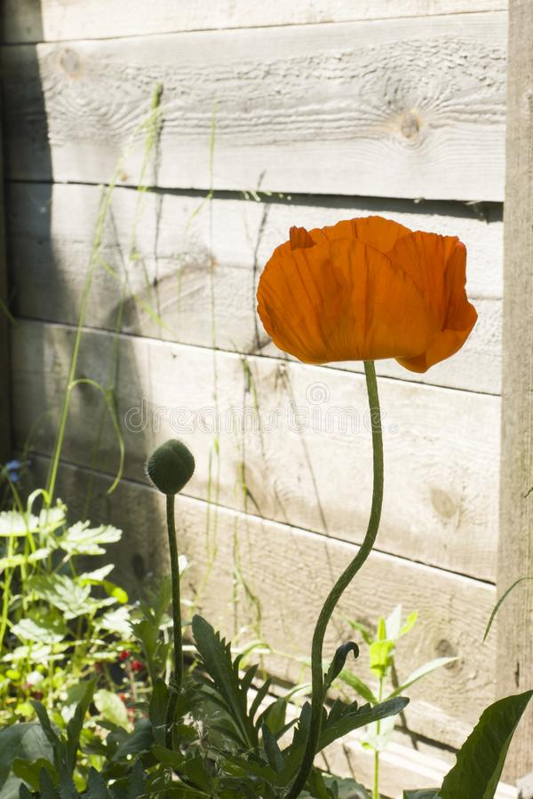 Rode papaverbloem in de tuin op houten achtergrond in schaduw stock foto's