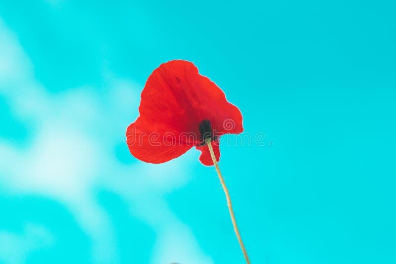 Rode papaverbloem op gebied royalty-vrije stock fotografie